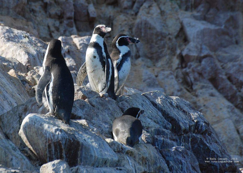 day-7-humboldt-penguins-on-islas-ballestas-dsc_1777